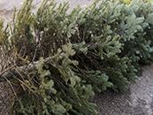2018-12-17_Press Release Image_Tree Recycling